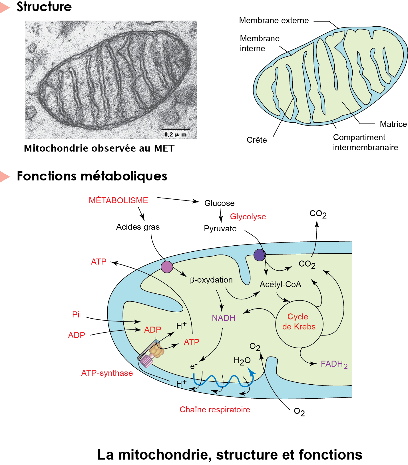12 La mitochondrie