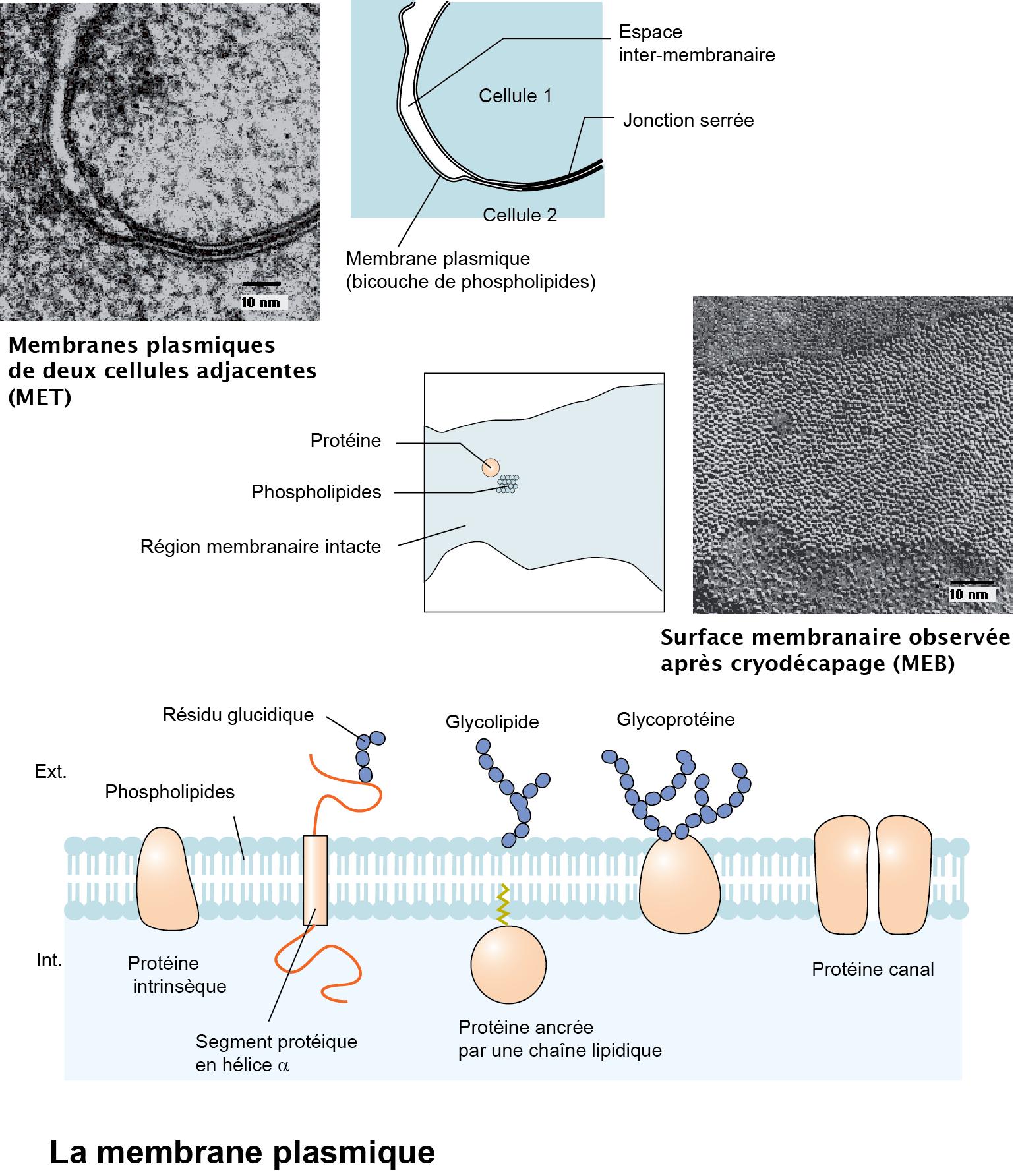 6 Membrane plasmique